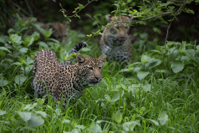 Young leopards playing in the vegetation in Lower Zambezi National Park