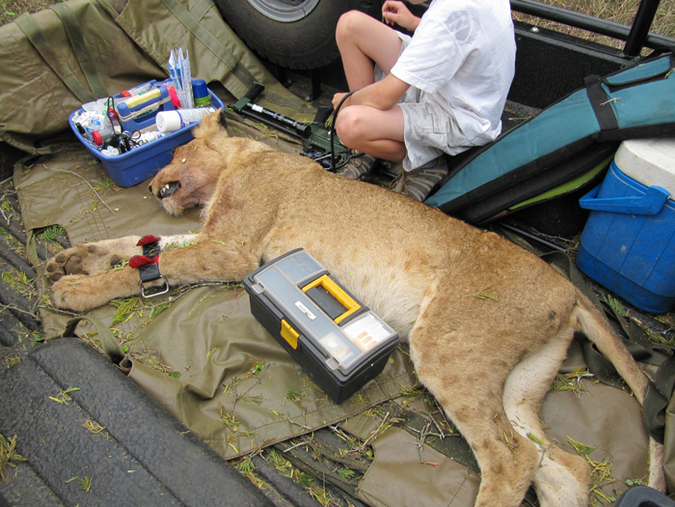 A darted lion in the back of a vet's bakkie