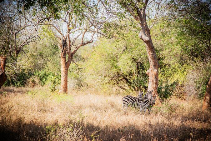 Zebra in Zinave National Park