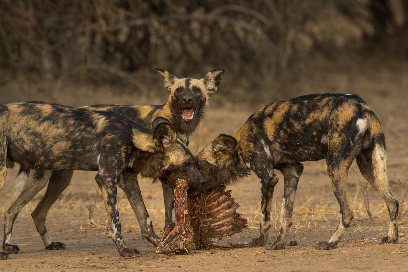 Three painted wolves eating a carcass