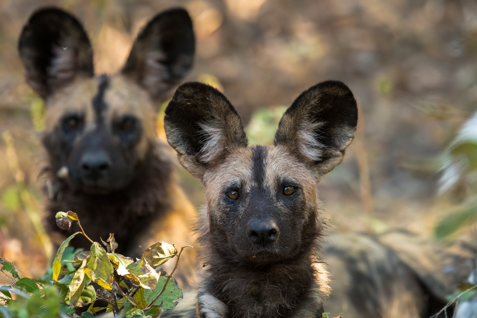 Two painted wolves in Mana Pools in Zimbabwe