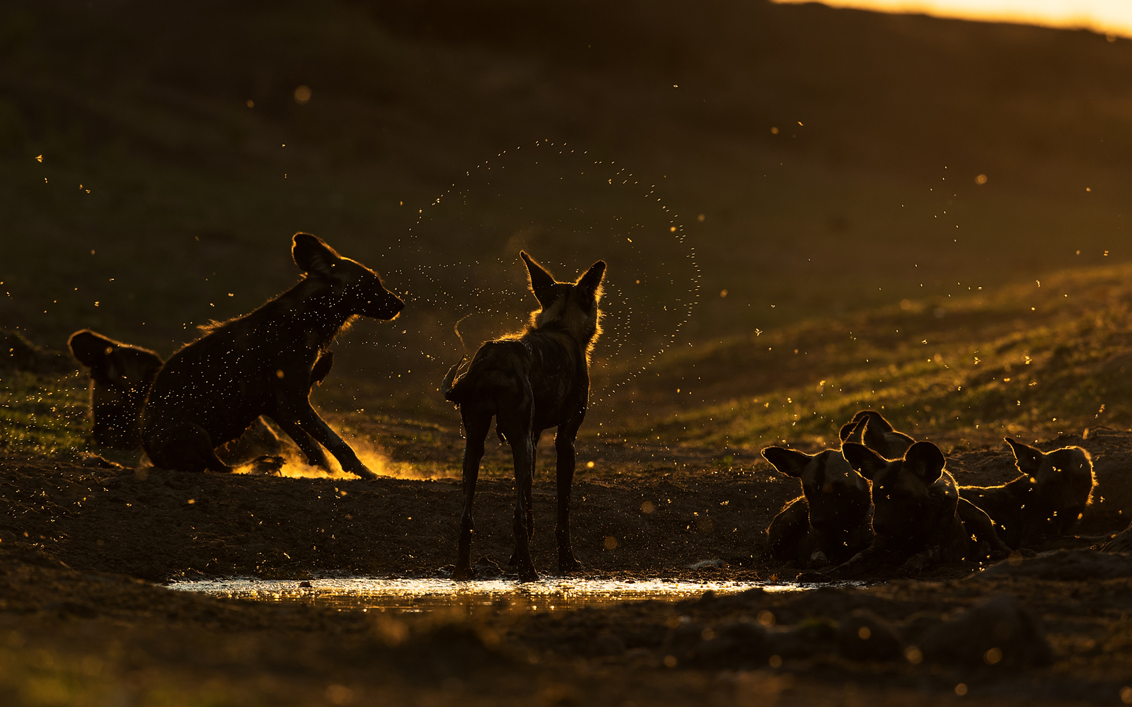 Painted wolves at sunset in Mana Pools in Zimbabwe