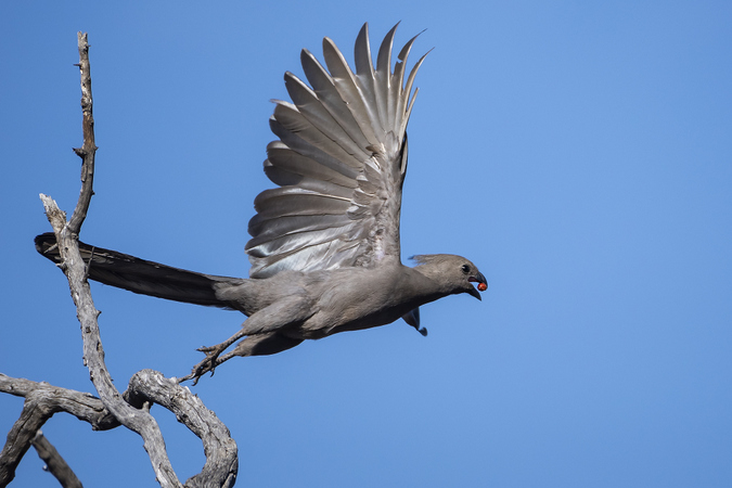 Grey go-away-bird taking flight