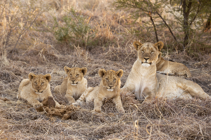 Lioness with cubs in Madikwe Game Reserve in South Africa