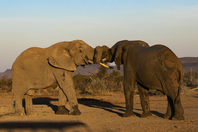 Two elephants with trunks entwined in Madikwe Game Reserve in South Africa