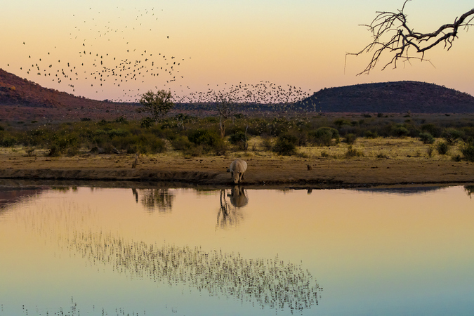 Rhino by a water source with red-billed queleas flying around