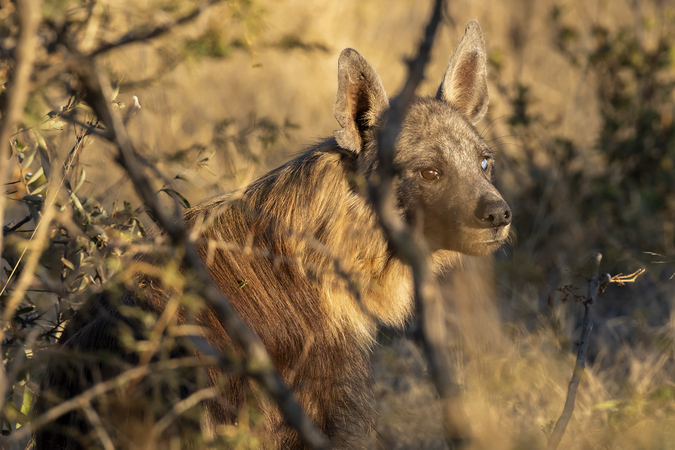 Brown hyena in Madikwe Game Reserve in South Africa