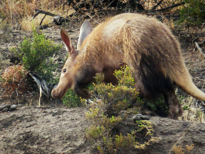 An aardvark in the Karoo in South Africa