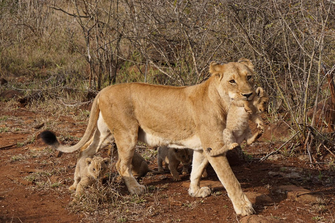 Lioness with five cubs
