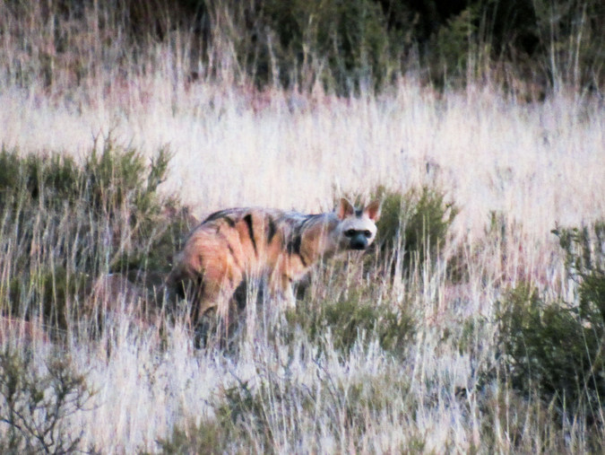 An aardwolf in the Karoo in South Africa
