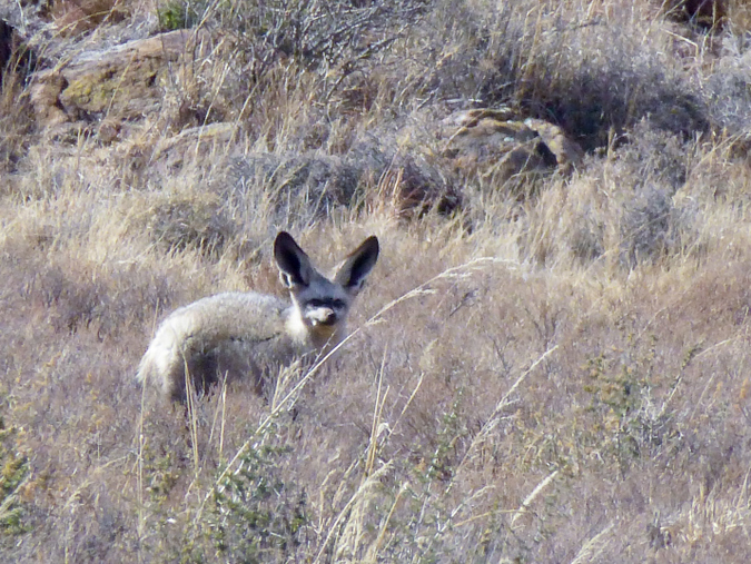 Bat-eared fox in the Karoo in South Africa