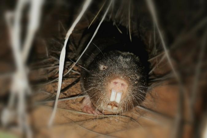 Damaraland mole-rat at night in the wild