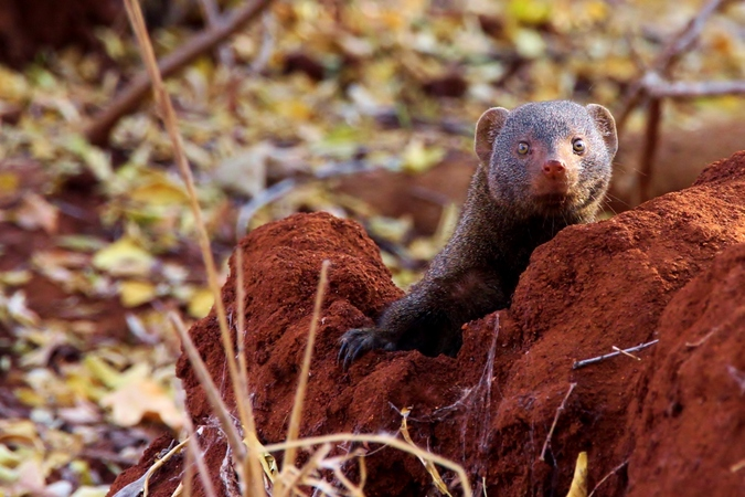 Dwarf mongoose in termite mound