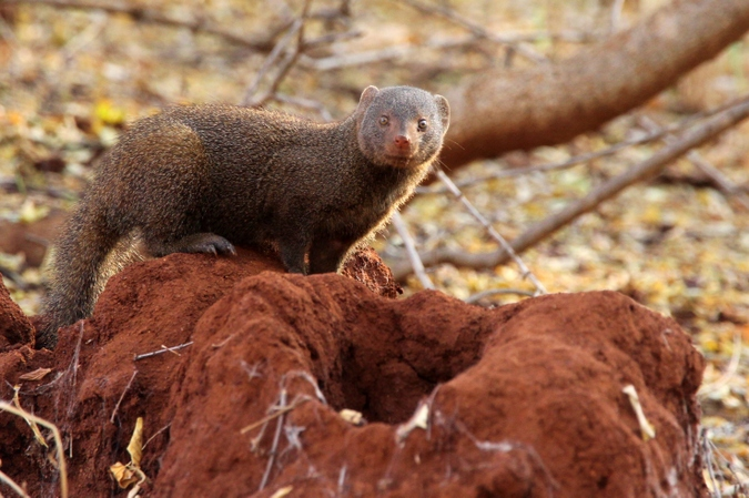 Dwarf mongoose by termite mound