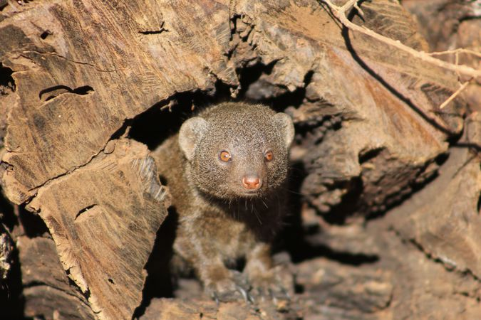 Dwarf mongoose inside log