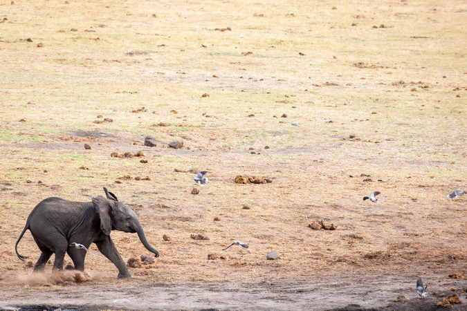 Elephant calf chasing birds