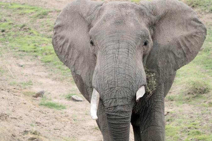 Male elephant in Ruaha in Tanzania