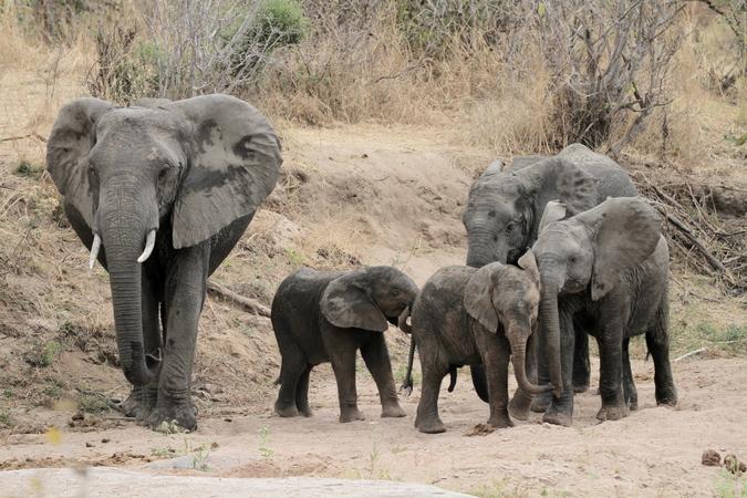 Elephant family in Ruaha in southern Tanzania