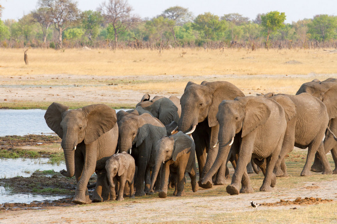 Herd of elephants approaching waterhole