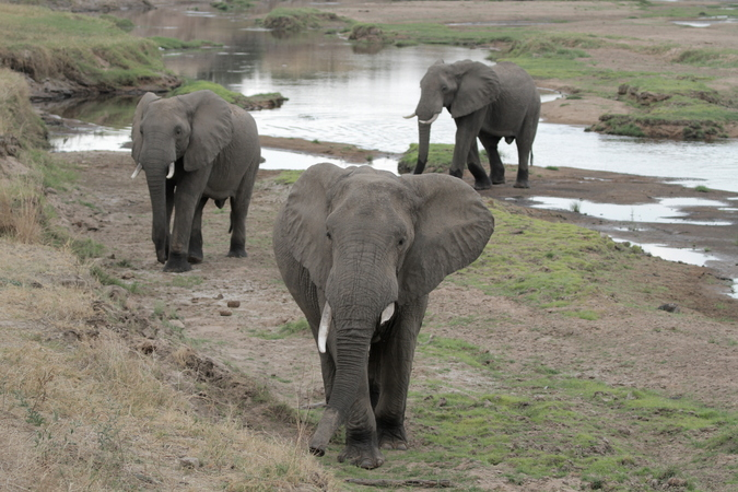 Three elephants on a riverbank in Ruaha in Tanzania