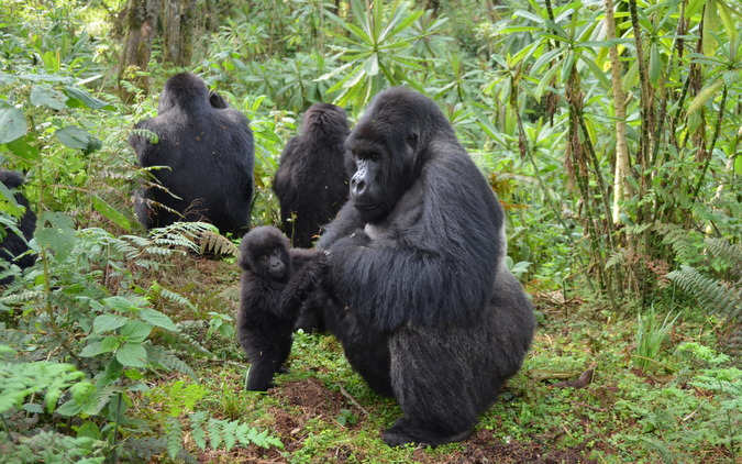 Male gorilla with baby in Rwanda forest