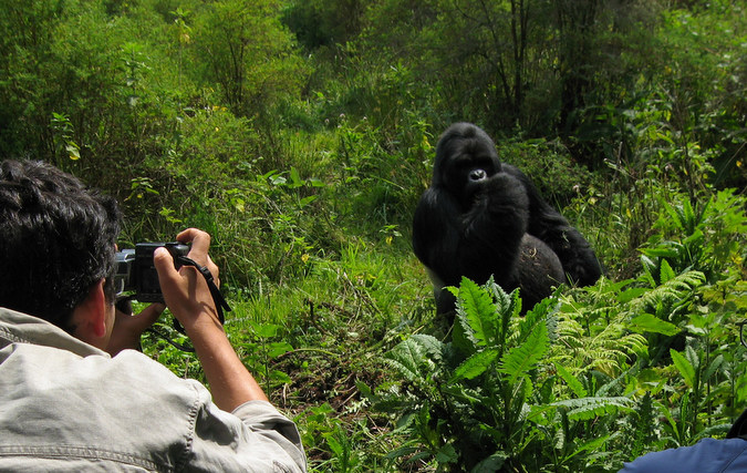 Safari guest taking a photo of a gorilla in the rainforest