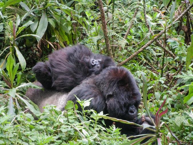 Isabukuru and Icyororo, mountain gorillas