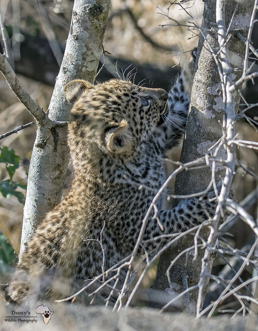 Leopard cub trying to climb a tree in Kruger