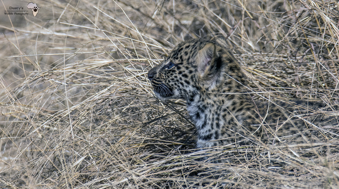 Leopard cub peeking out of the vegetation in Kruger