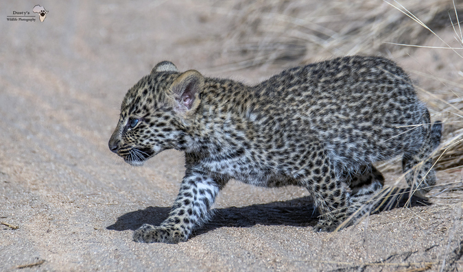 Leopard cub walking onto dirt road in Kruger
