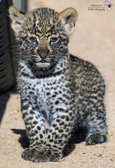 Curious leopard cub by the tyre of a car's wheel in Kruger