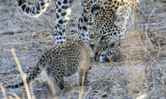 Leopard mother with two cubs in Kruger