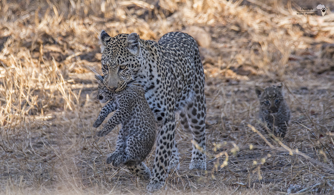 Leopard mother carrying cub in Kruger