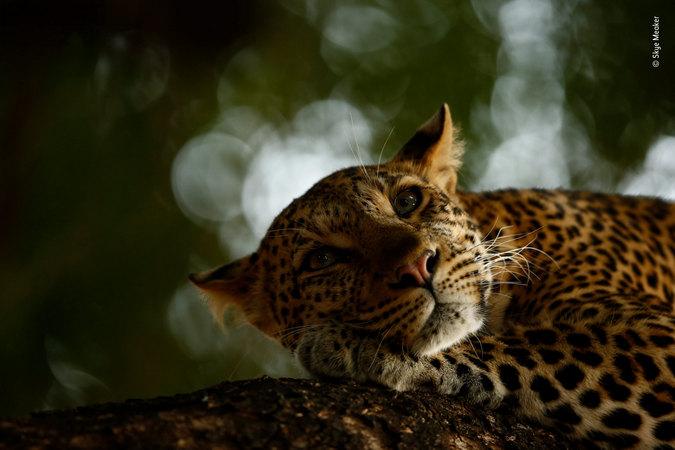 Lounging Leopard © Skye Meaker