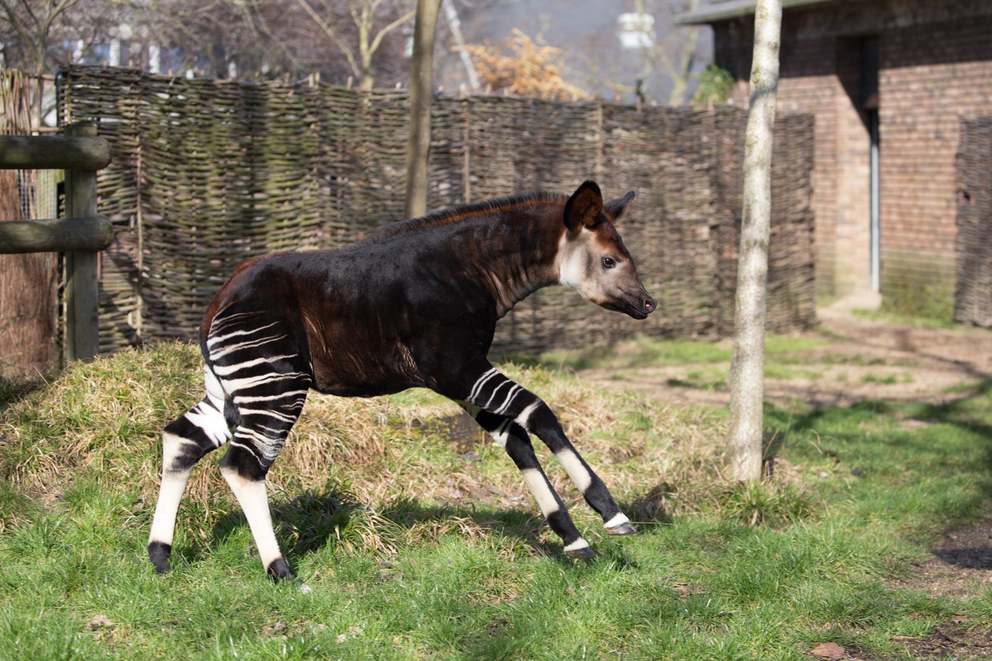 Okapi calf frolicking in zoo