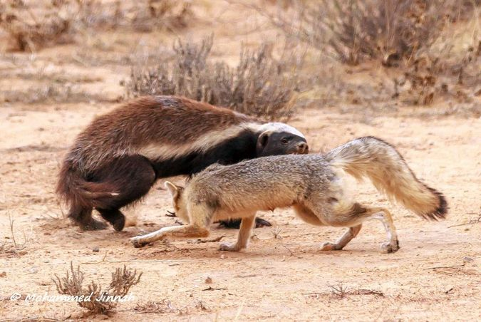 Cape fox biting honey badger