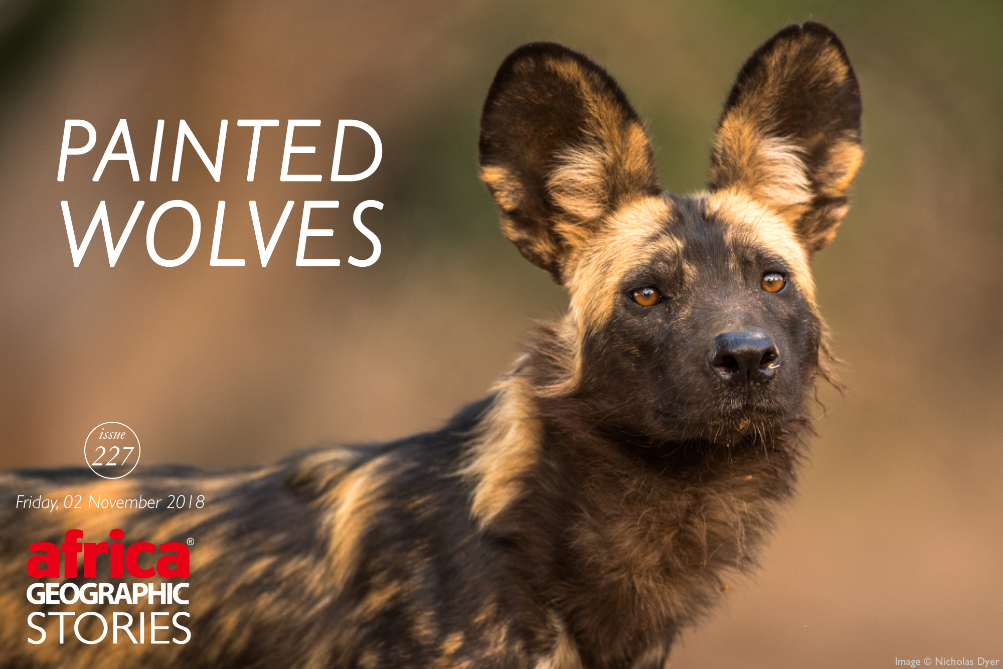 Painted Wolves A Wild Dog S Life Africa Geographic