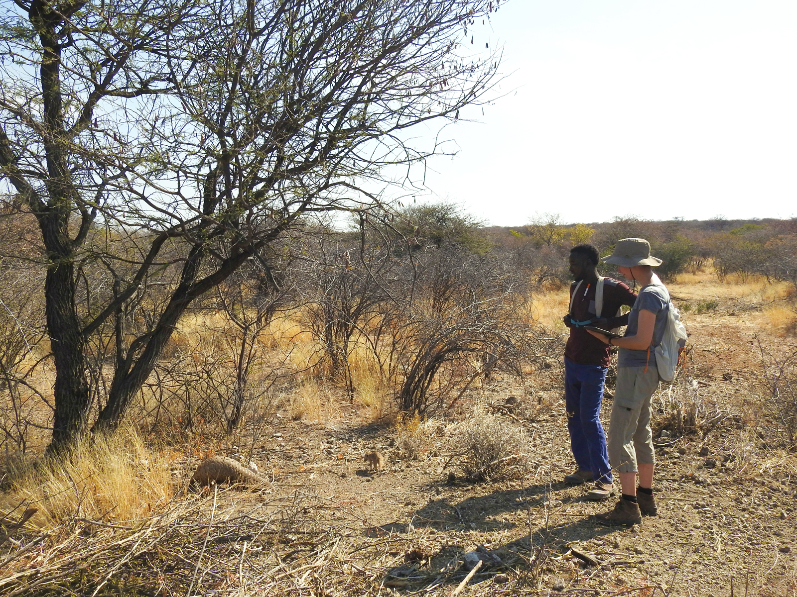 Two people watchign a pangolin forage in Namibia