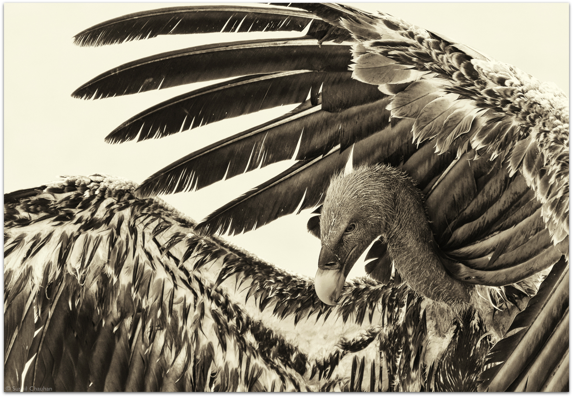 Rüppell's vulture © Sushil Chauhan