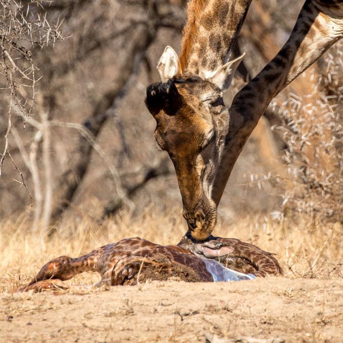 Giraffe licking amniotic sac off newborn giraffe