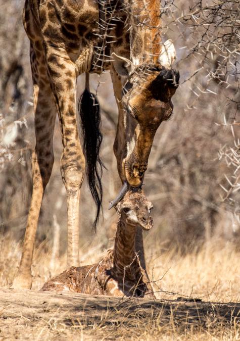 Newborn giraffe sitting on ground with mother licking it