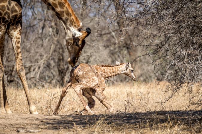 Newborn giraffe trying to stand up