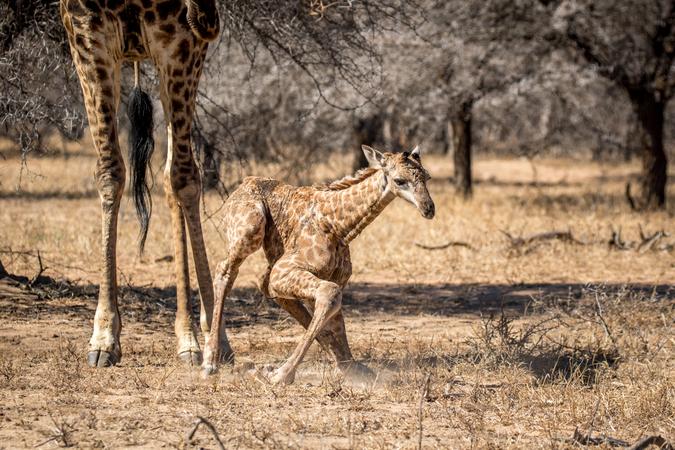 Newborn giraffe making attempt to stand up