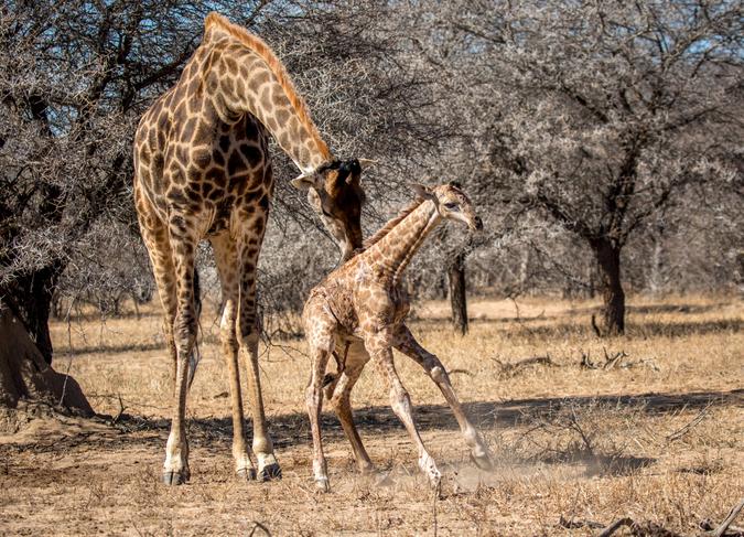 Newborn giraffe standing up with mother helping