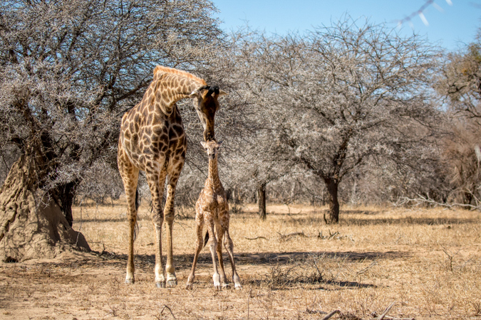 Wobbly newborn giraffe standing for the first time in its life