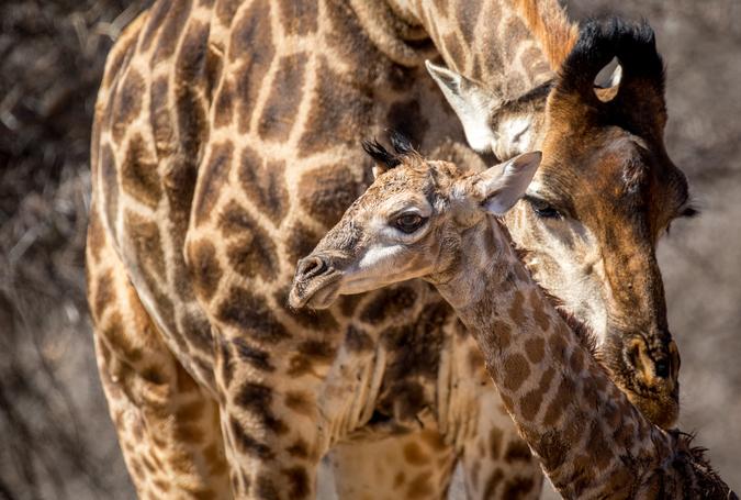 Newborn giraffe with mother