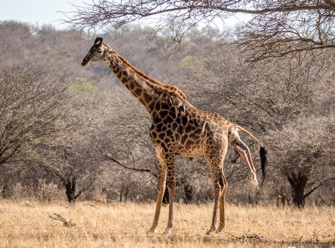 Giraffe giving birth in the wild