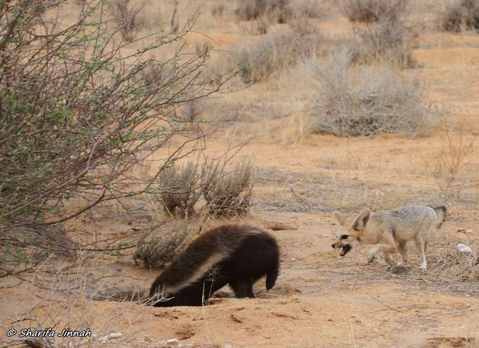 Honey badger digging in Cape fox den