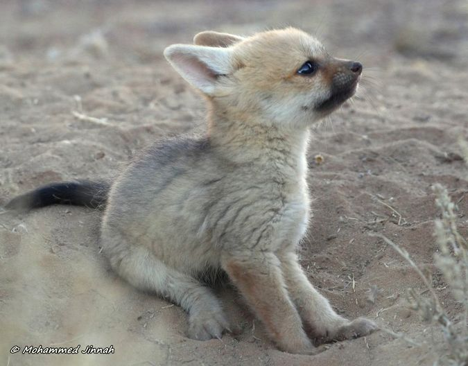 Cape fox baby