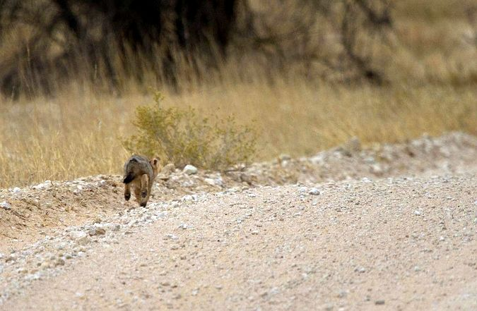 Cape fox kit running down the road